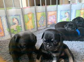 Black n tan pugs