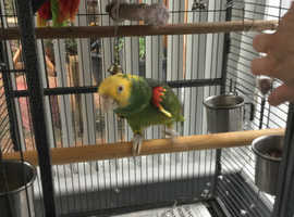 11 year old chatty Amazon Parrot
