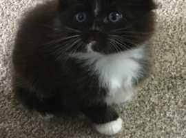 Half Ragdoll Kittens - ready in 2 weeks