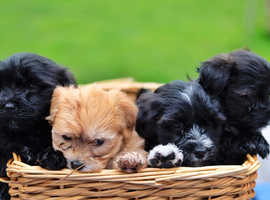 **ONLY 1 FEMALE AVAILABLE***Full breed IKC Reg havanese puppies