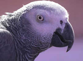 African Gray Parrot for Sale.