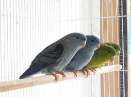 HIGH & STRONG QUALITY Baby Lineolated Barred Parakeet Talking Parrot Linnies For Sale + Cages