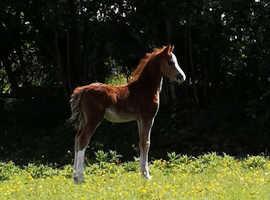 Sec b chestnut colt foal