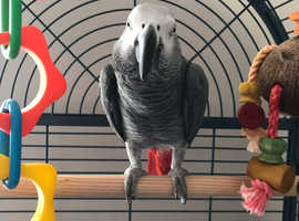 African Grey (Congo) for sale