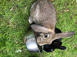 Baby rabbit 12 weeks old