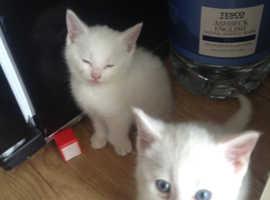 Lovely Polydactil kittens
