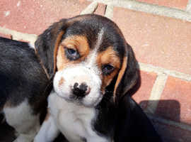 Beautiful beagle puppy's for sale