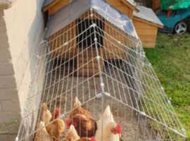 3 brown hens