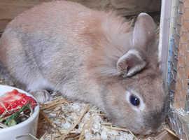 Cute Lionhead single maned female rabbit