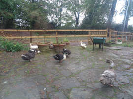 My Wonderful Free Range Ducks