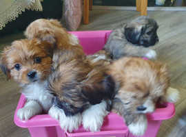 Lhasa also pups