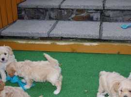 Stunning litter of Poochon pups, PRA clear