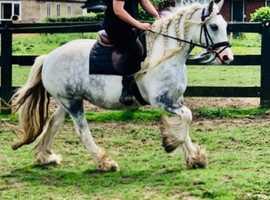 Beautiful cob mare