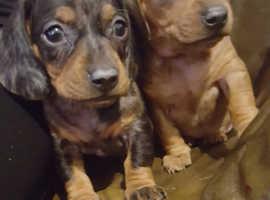 miniature dachshund puppies 3 boy