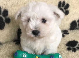 Stunning litter of Maltese x Bischon Frise pup available
