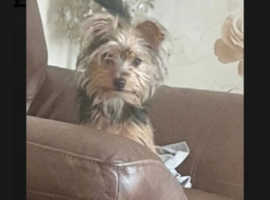 5month old Male Yorkshire terrier