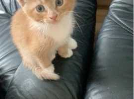 Ginger and white female kitten at 8 weeks