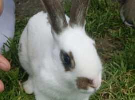 Last 8 week old Rhinelander rabbit