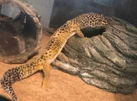 male  leopard gecko with viveriuam heat mat ect