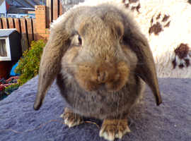 giant lop rabbit ready now
