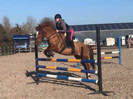 13.3 talented mare