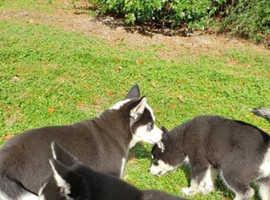 Stunning Siberian Husky Puppys For Sale