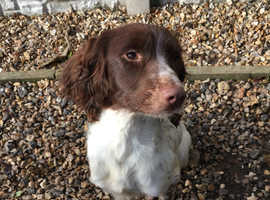 Pet Trained English Springer Spaniel (Ravenkeeper Gundogs)
