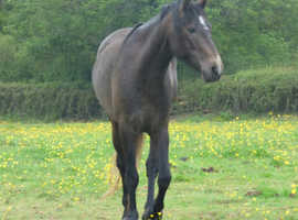 Beautiful Whitley Village Satin, 5 year old mare and other connemara's for sale.