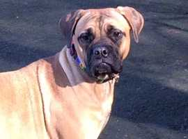 Female Bullmastiff Xena