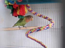 Love Bird For Free