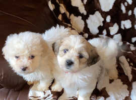 Bichon x shih tzu puppies Will be ready to go in 2 weeks