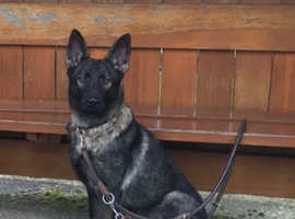 14 month black sable female straight backed