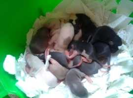 Hand tamed baby rats