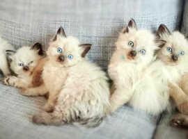 1 BOY LEFT Beautiful siberian kittens