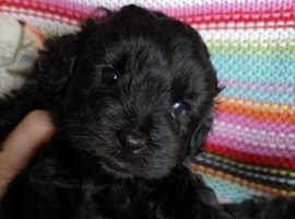 Yorkipoo Yorkshire terrier x poodle