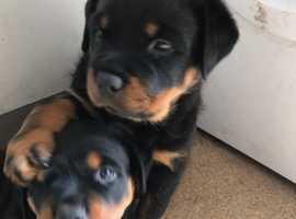 Rottweiler pups ready to go now excellent bloodline , not interbreeds mum , dad , uncle and grandma can be seen , registered at the vets 2 boys 1 girl