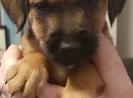 2 Little Patterjack,Boarder Terriers for sale
