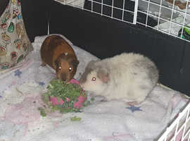 2 x Gorgeous Male Guinea Pigs plus c&c cage,food,extras etc