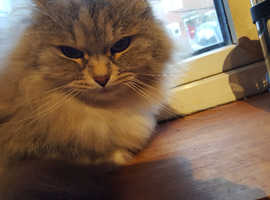 Siberian Forest Cat . Indoor only home