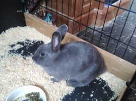 Female blue rabbits for sale