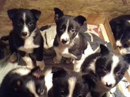Border collies puppies-8 weeks old.