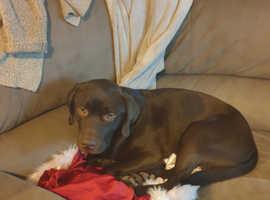 Labrador chocolate male