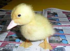 ducklings - Aylesbury/Pekin cross for sale