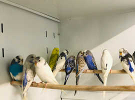 Budgies For Sale & Rehome in Nottingham | Find Birds For