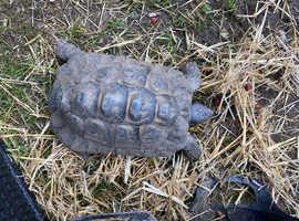 Testudo Graeca. tortoise