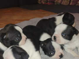 Lovely Boston Terriers puppies for sale