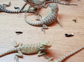 Lizards For Sale & Rehome in Shrewsbury | Find Reptiles For