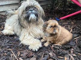 Shih tzu girl puppy for sale