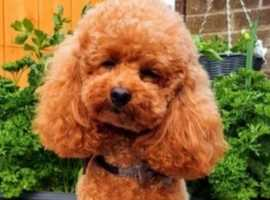 SHOW KC registered toy poodle RED LITTER
