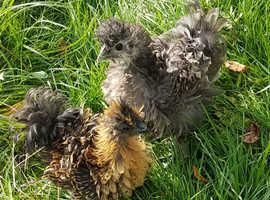 Frizzle bantam chicks x 2